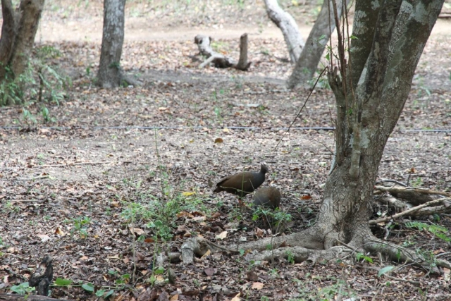 birdsofkomodo, komododragons, rincabirds