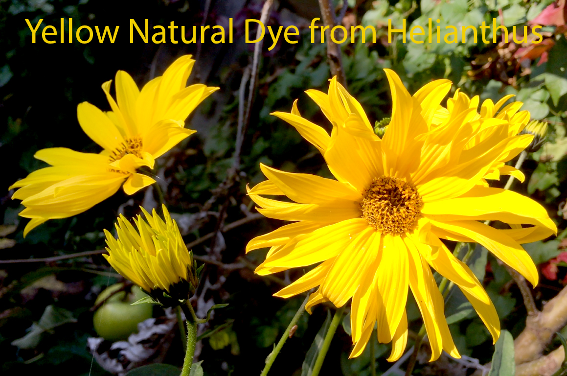 Yellow Natural Dye from Perennial Sunflower (Helianthus)